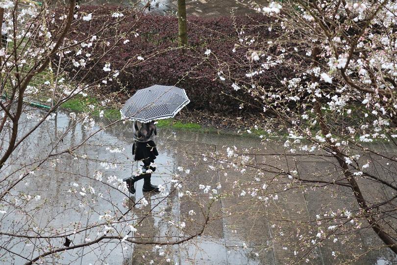 樱开四处,雨润海初